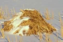 Muskrat House in Frozen Freshwater Marsh in Winter, Ondatra zibe