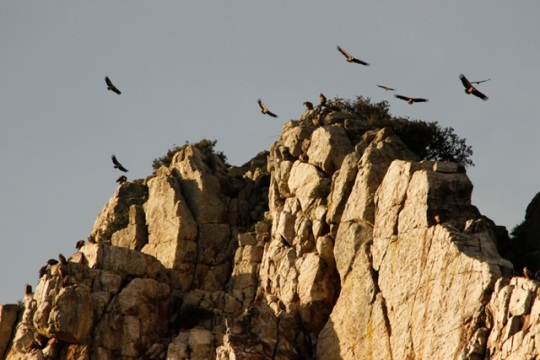 In western Spain, Parque Nacional Monfragüe is home to soaring Griffon Vultures. They nest on cliffs and keep watch for dead animals to dine on.
