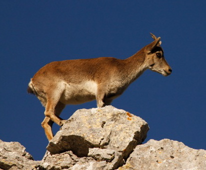 This little Spanish ibex is a nimble rock climber. We spotted it in El Torcal, near Antequera.