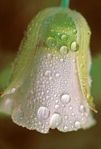 Sego Lily, Nuttall's Mariposa Lily, Calochortus nuttallii