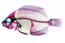 Madagascan Cichlid