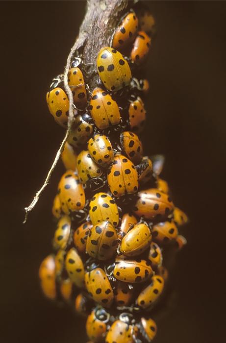 Ladybird Beetles or Ladybugs