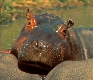 Or is it the hippo?