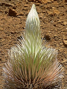 Haleakala silversword Argyroxiphium sandwicense macrocephalum