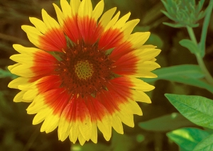 Indian blanket, Indian Blanketflower, Sundance, Firewheel, Gaill