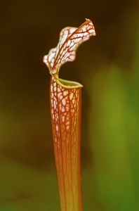 White pitcher plant, Crimson Pitcher Plant, Crimson Pitcherplant, Sarracenia leucophylla, Sarracenia drummondii,