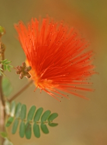Baja Fairy Duster, Red Fairy Duster, Calliandra californica