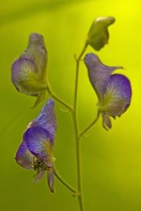 Columbian Monkshood, Aconitum columbianum