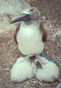 Blue-footed Booby and Napping Nestilings