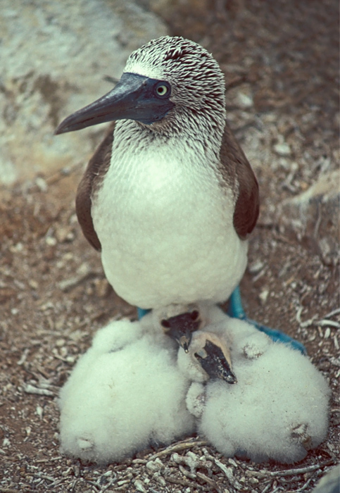 Blue-footed Booby and Babies