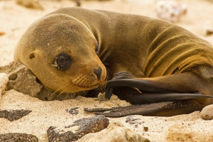 Sea Lion Pup