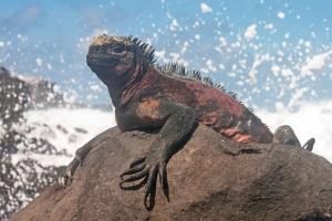 Marine Iguana Sunning Near Surf