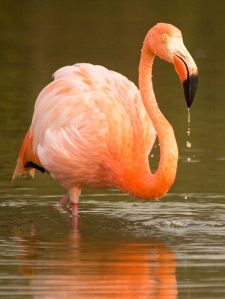 Fishing Flamingo