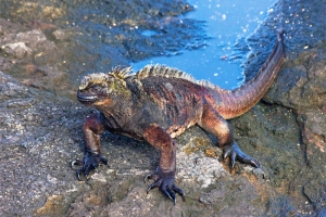 Marine Iguana Crawling from the Sea