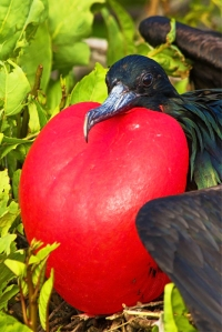 Male Great Frigatebird Displaying Gular Sac to Attract a Mate