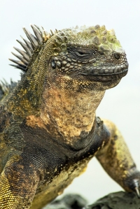 Marine Iguana Looking Like Movie Monster, Godzilla