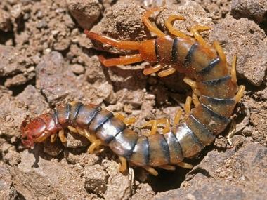Common Desert Centipede, Banded Desert Centipede, Banded Centipe