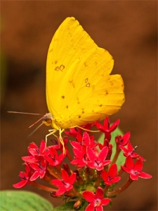 Female Cloudless Sulphur Butterfly, Female Cloudless Giant Sulph