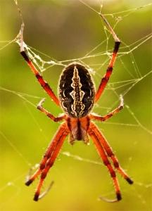 Zig-zag Spider, Neosconia oaxcensis, Neosconia cooksonii