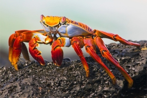 Sally Lightfoot Crab on Lava Rock, Grapsus grapsus