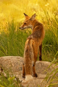 Red Fox, Vulpes vulpes