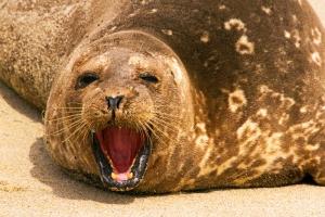 Harbor Seal Yawning, Phoca vitulina