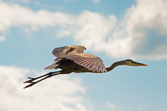 Great Blue Heron Flying, Ardea herodias