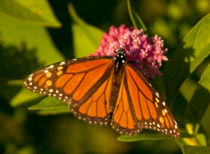 Male Monarch Butterfly, Milkweed Butterfly, Danaus plexippus