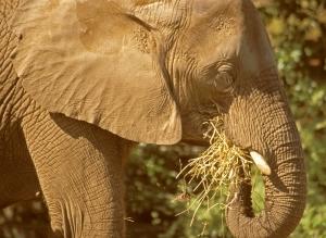 African Elephant Eating, Loxodonta africana