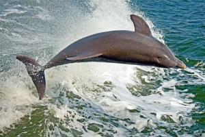 Bottlenose Dolphin, Tursiops truncates
