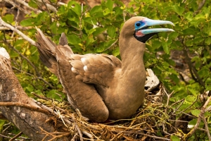Red-footed Booby on Nest, Sula sula