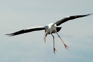Wood Stork Flying, Mycteria americana