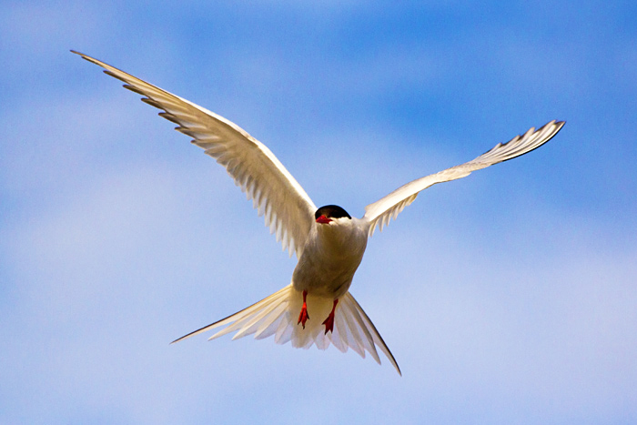 Arctic Tern Flying, Sterna paradisaea