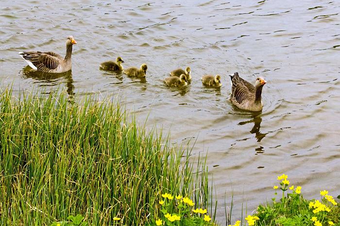 Greylag Goose Family Swimming, Anser anser