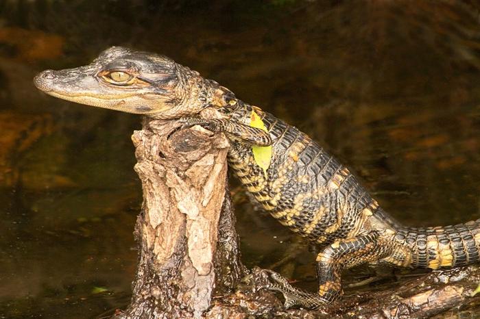 American Alligator Baby, Alligator mississippiensis
