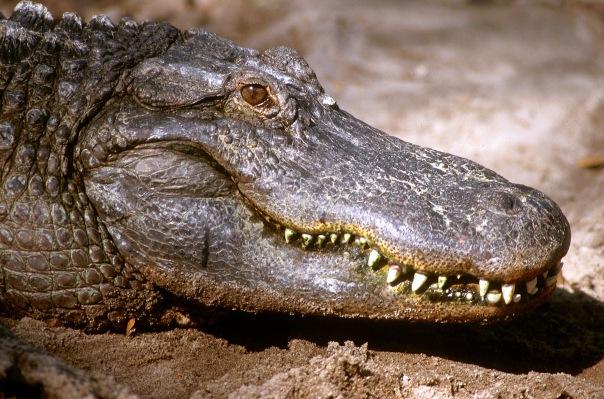 Alligator Jaw-Hi-Sharpened.jpg