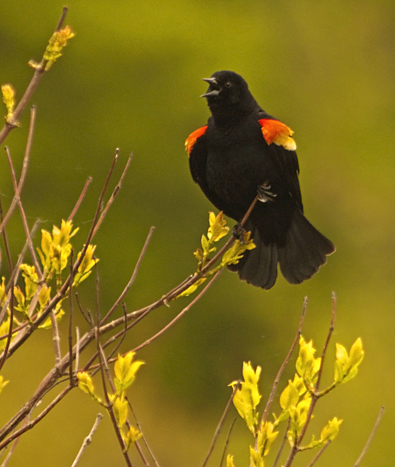 Red-winged Blackbird Singing, Agelaius phoeniceus